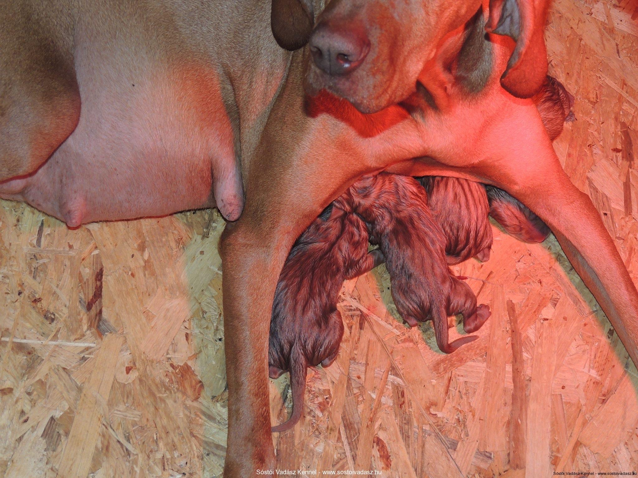 Female Vizsla Puppy Name Teca Hunting Black Truffles