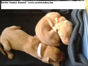 Baby Vizsla Puppies