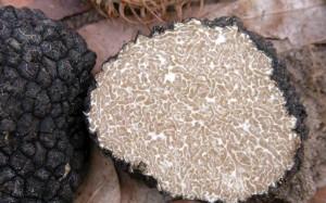 Black Truffles Switzerland - Tuber Uncinatum