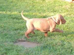 Female Vizsla Puppy Pointing