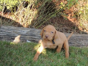 Male Vizsla Puppy