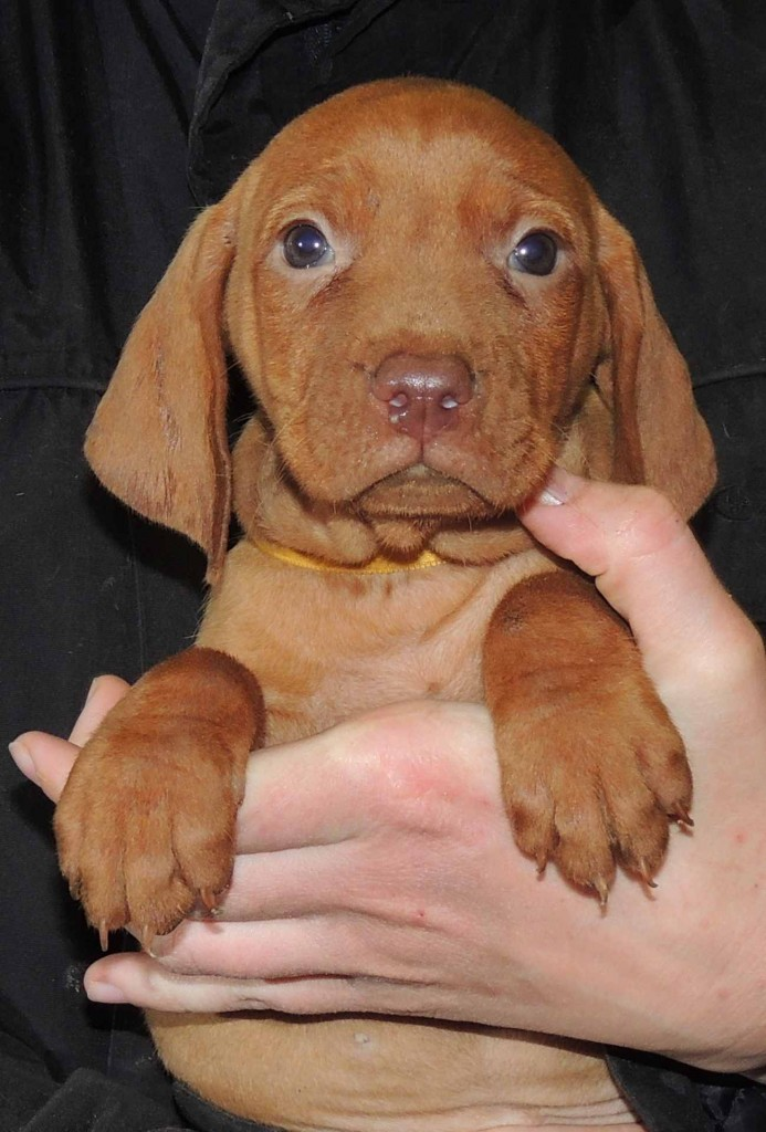 6 Weeks Old Five Female Vizsla Pups Hunting Black Truffles