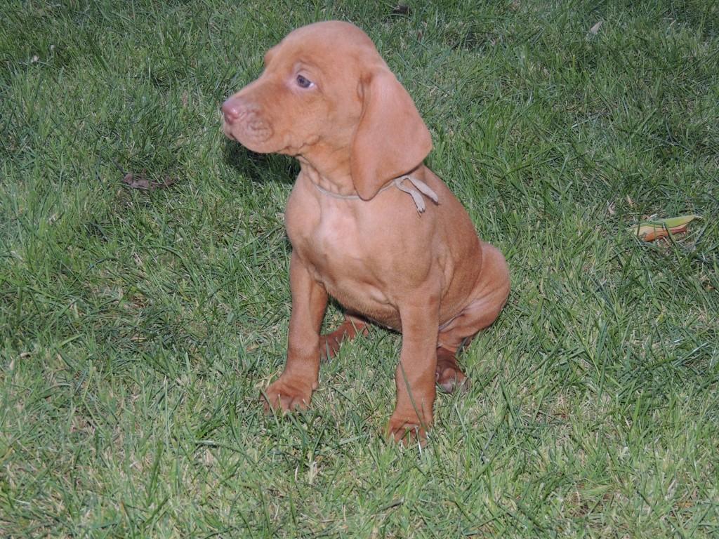 Female Magyar Vizsla Puppy