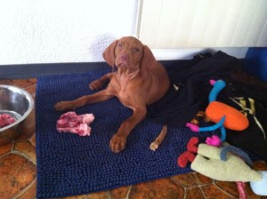 Raw Feeding-BARF-Vizsla Puppy