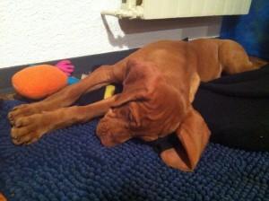 Vizla Puppy 11 weeks