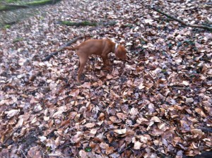 Vizsla scent tracking and training